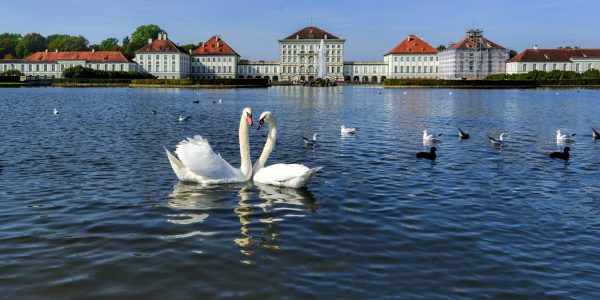 A pair of white swans on a lake in Nymphenburg